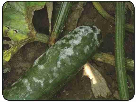 مدیریت بیماري پیتیومی مرگ گیاهچه و پوسیدگی طوقه و ریشه خیار در کشتهاي گلخانه اي