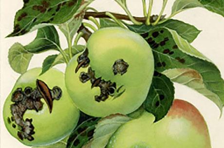 اثر قارچ کش تری فلوکسی استروبین + تبوکونازول (ناتیوو®) در کنترل بیماری لکه سیاه سیب